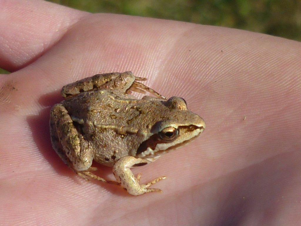 Ручная лягушонка