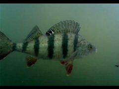 Рыбалка на щуку, но ловим хитрого окуня, подводные съемки