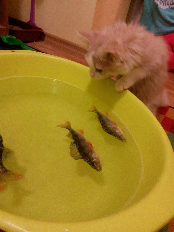 Приучаем кота к рыбе, пока только наблюдает...