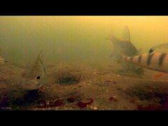 Зимняя рыбалка, Лещ и окунь кормятся