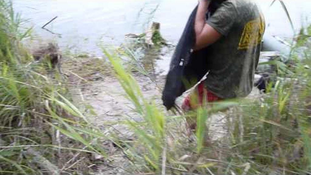 В Тверской области поймали 30-килограммового белого амура