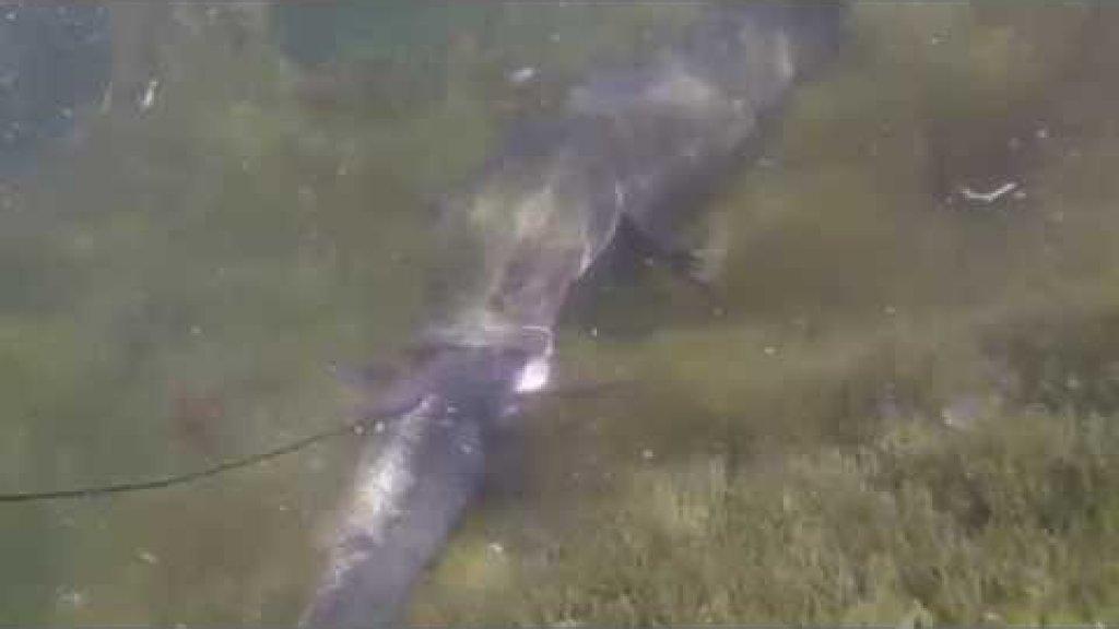 Подводная охота.Нападение змееголова, жуткое зрелище! Казахстан.