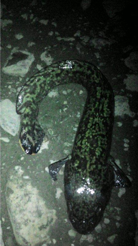 Ночной змей