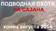 Подводная охота на сазана в залежке на КВХ 31.08.2014