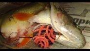 Шокирующие последствия рыбалки в Рогожкино или окуни с сюрпризом!