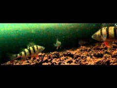 Ловля окуня на блесну - зимняя рыбалка подводная съемка