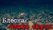 Блесна: атака окуня - подводное видео