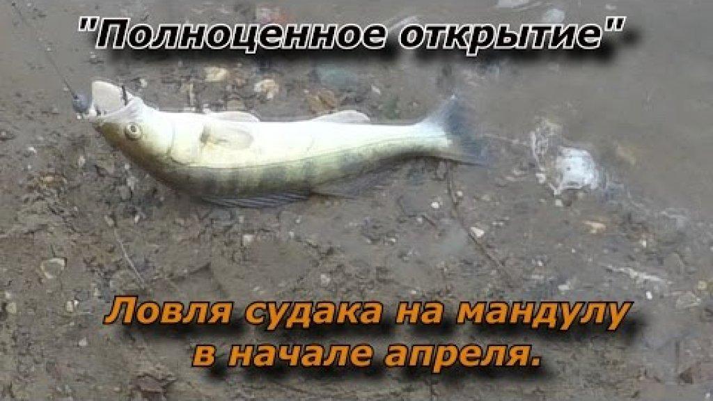 """""""Полноценное открытие"""" - Ловля судака весной на мандулу с берега на реке Обь."""