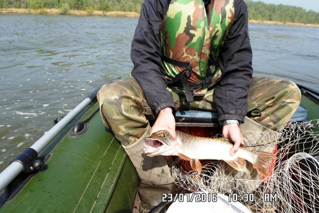 В протоках Красного Яра. 1,7 кг