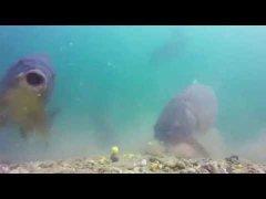Подводные поклёвки Карпа и Амура
