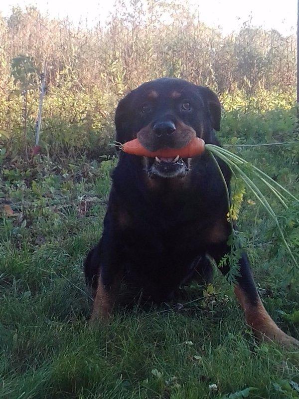 Обожает морковку