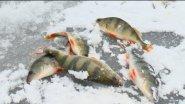 Ловля  крупного окуня зимой (Саратовская область)