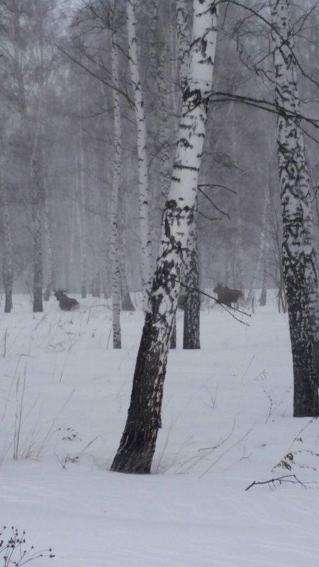 Сибирские лоси.