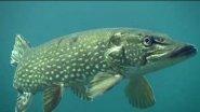 Щука АТАКУЕТ! Подводные съемки/Pike attacks
