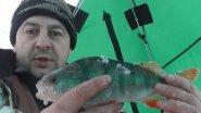 Зимняя рыбалка и поиск с эхолотом крупного окуня