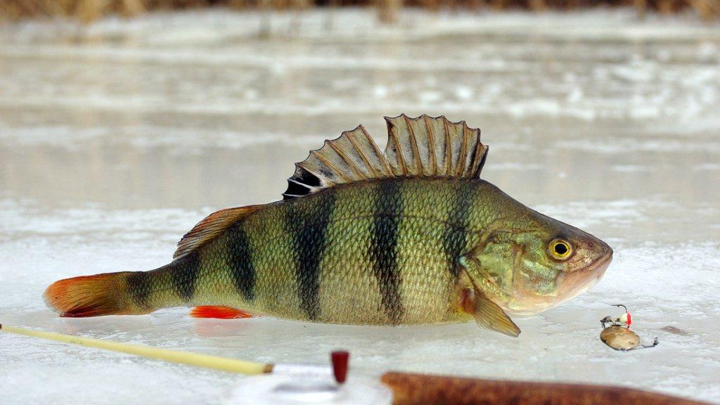 Блесны на окуня для зимней рыбалки. Что говорят опытные рыбаки