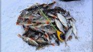 Вот это рыбалка! Просто бешеный клёв окуня и плотвы! Пожалуй, самая лучшая зимняя рыбалка видео!