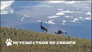 Горный Алтай, журавли-красавки в Чуйской степи...