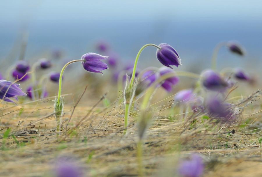 Навстречу весне раскрывает Свой венчик лиловый прострел...