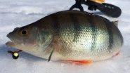 Рыбалка на окуня для копчения с помощью эхолота