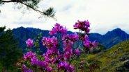 Цветение маральника на Алтае 2017 в 4К.