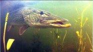 Самая большая в мире пойманная щука - почти 30 килограмм!
