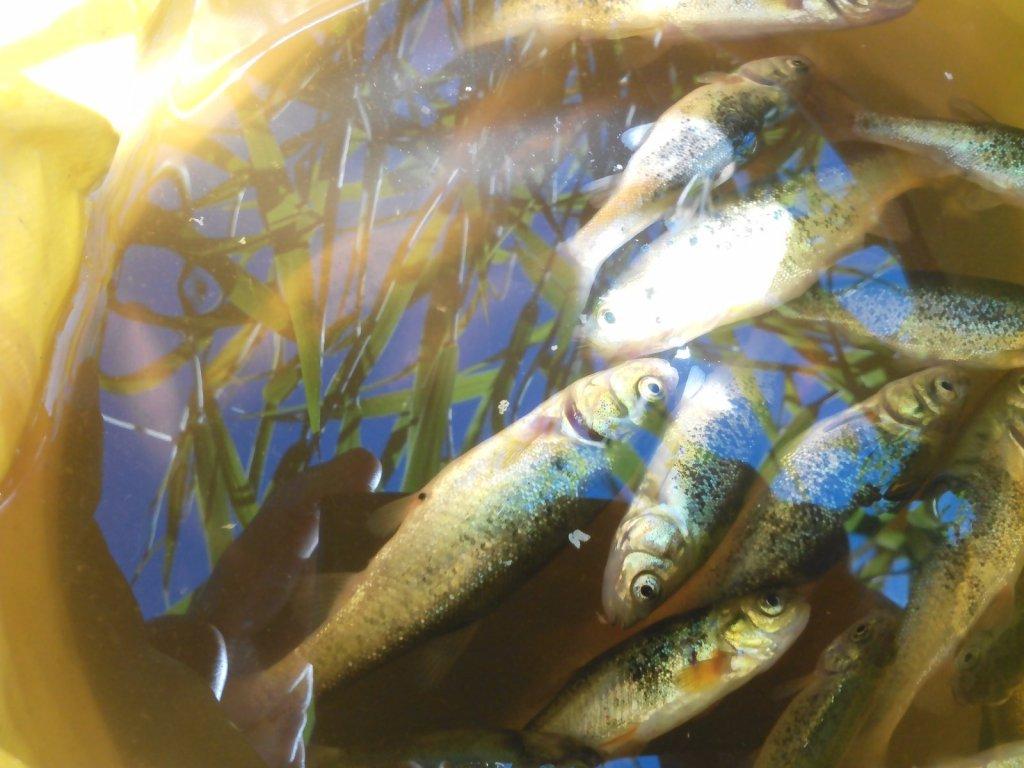 Гольяны с реки Канал (Тихомирово)