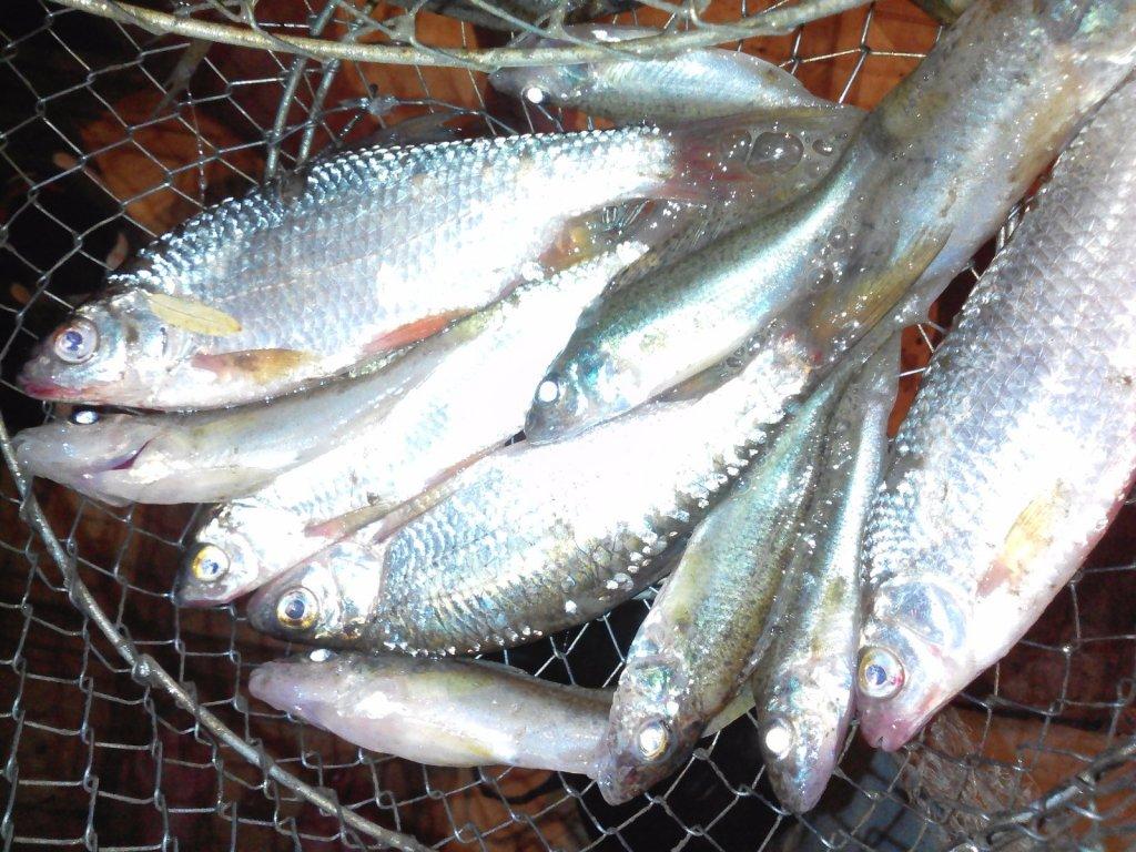 Утренний дачный улов с реки Иня