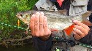 Рыбалка на реке. Ловля трофейного язя спиннингом на блесны