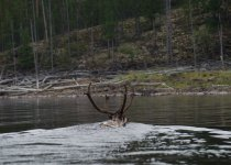 Плывущие рога