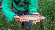 Ловля форели в ручье. Рыбки в пятнышках. Выдра съела всю рыбу?