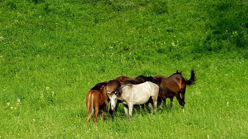 горные кони