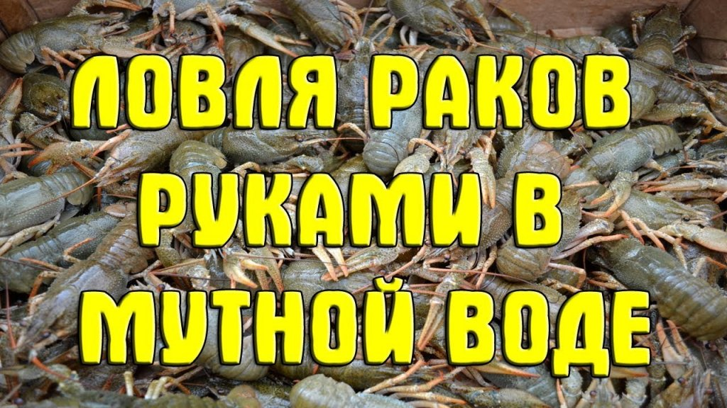 Ловля раков руками в мутной воде. Как ловить раков в норах. Гнилопять. 2017. Catch crayfish by hand