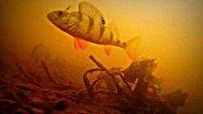 Самый голодный окунь в мире!!! Супер подводная съемка!!