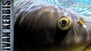 Как охотиться на сазана. Тактика подводной охоты на сазана.