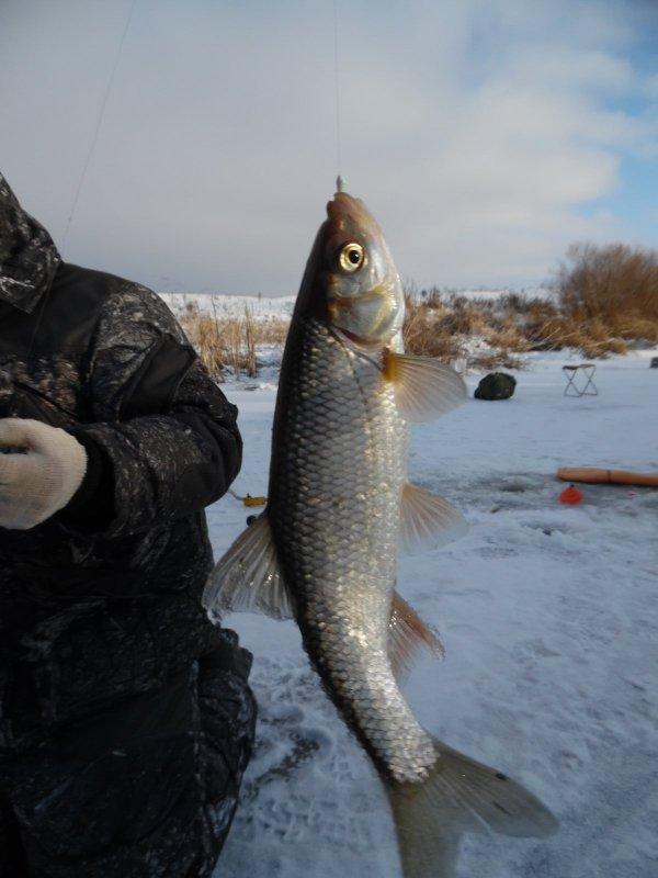 Сибирский елец. Река Чулым. Здвинский район.
