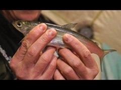 Рыбалка на озере Увильды Ловля рипуса с подводной съемкой Тестируем подводную камеру