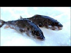 Хариус в январе на таежной реке / пробуем ловить хариуса / маслаковtv