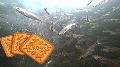 ВОТ ЭТО АППЕТИТ! От этих печений рыба сходит с ума! Подводная съемка!