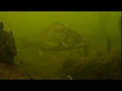 Подводная съемка: огромный судак охотится за балансиром