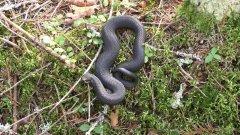 Змея. Гадюка черная в лесу. Встреча со змеёй.