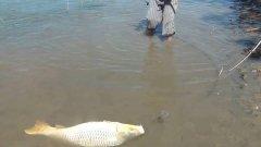 Дикий сазан на поплавок. Вес гиганта - 22 килограмма