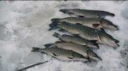 Рыбалка в Сибири. Щуки не пролезают в лунки.