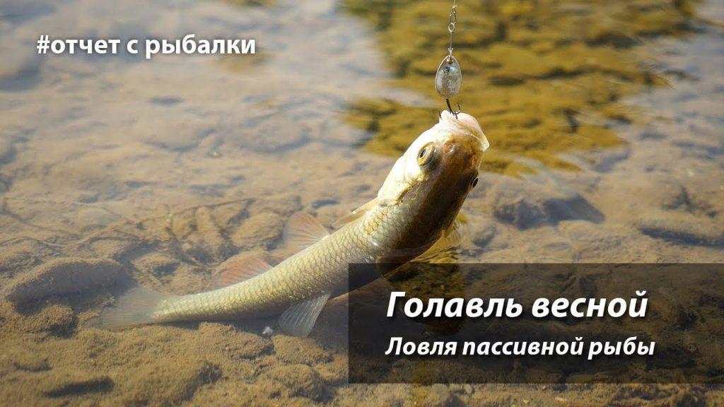Голавль весной. Ловля пассивной рыбы.