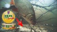 Реакция рыбы на ИКРУ ТРЕСКИ Подводная съемка