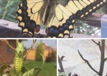 Три стадии из жизненного цикла махаона( собственное наблюдение:)...