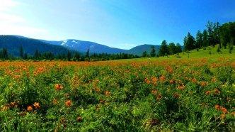 Горный Алтай. Огоньки перед Семинским перевалом