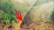 Как рыба реагирует на запах конопли