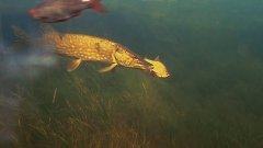Атака щуки на живца! Подводные съемки