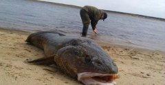 Кто там говорил, что перевелась рыба в России? Сом на 200 КГ!